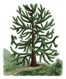 Gravura botânica da antiguidade do araucana da araucária Imagens de Stock Royalty Free