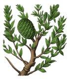 Gravure botanique antique australis d'Agathis Photographie stock libre de droits