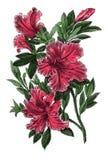 Gravure botanique antique indica d'azalée Photos stock