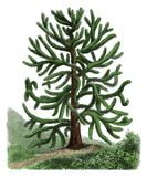Gravure botanique d'antiquité d'araucana d'araucaria Images libres de droits