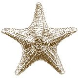 Gravure de l'illustration de dessin de l'étoile de mer de hippasteria illustration libre de droits