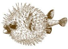 Gravure de l'illustration de dessin du blowfish de porcupinefish photo libre de droits