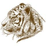 Gravure de l'illustration de dessin de la tête tigre sibérien ou de tigre d'Amur photos libres de droits