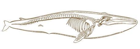 Gravureillustratie van walvisskelet Royalty-vrije Stock Afbeelding