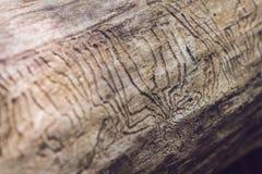 Gravyr för galleri för skällskalbagge på trä arkivbilder
