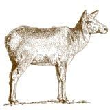Gravyrillustration av hjortar Fotografering för Bildbyråer