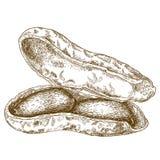 Gravyrillustration av jordnötter Arkivbilder