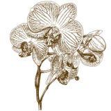 Gravyrillustration av orkidén Arkivbilder