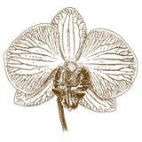 Gravyrillustration av phalaenopsis Arkivbilder