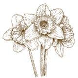 Gravyrillustration av pingstliljan Arkivbild