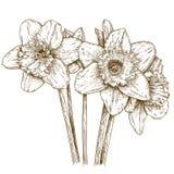Gravyrillustration av pingstliljan Royaltyfria Foton