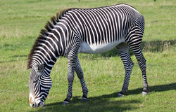 Gravys Zebra grazing Royalty Free Stock Photography