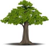grawerujący drzewo Wektorowa ilustracja owocowy drzewo w rocznika rytownictwa stylu , grupujący Obraz Stock