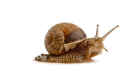 Grawling snail isolated Stock Image