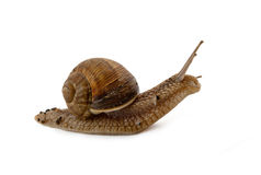 Grawling snail isolated Royalty Free Stock Images