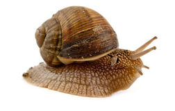 Grawling snail isolated Royalty Free Stock Photography