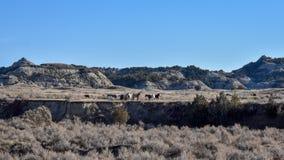 Graxe dei cavalli selvaggii da una distanza fotografia stock libera da diritti
