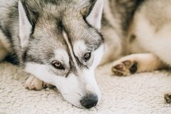 Gray Adult Siberian Husky Dog immagine stock