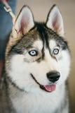 Gray Adult Siberian Husky Dog de ojos azules Foto de archivo libre de regalías