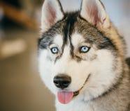 Gray Adult Siberian Husky Dog (perro esquimal de Sibirsky) Fotos de archivo
