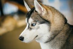 Gray Adult Siberian Husky Dog (perro esquimal de Sibirsky) Imágenes de archivo libres de regalías