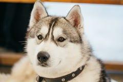 Gray Adult Siberian Husky Dog (perro esquimal de Sibirsky) Imagen de archivo