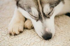Gray Adult Siberian Husky Dog (perro esquimal de Sibirsky) Foto de archivo