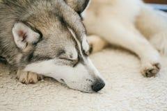 Gray Adult Siberian Husky Dog (perro esquimal de Sibirsky) Fotografía de archivo