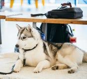 Gray Adult Siberian Husky Dog (perro esquimal de Sibirsky) Fotografía de archivo libre de regalías