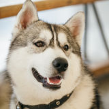 Gray Adult Siberian Husky Dog (Sibirsky husky) Stock Photos