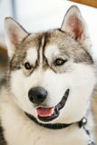 Gray Adult Siberian Husky Dog or Sibirsky husky. Close up portrait Stock Photography