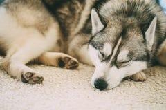 Gray Adult Siberian Husky Dog Sibirsky Husky Sleeping In Bed Foto de archivo