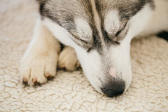 Gray Adult Siberian Husky Dog (Sibirsky husky) Stock Images