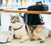Gray Adult Siberian Husky Dog (Sibirsky husky) Stock Photo