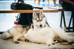 Gray Adult Siberian Husky Dog (Sibirsky husky) Royalty Free Stock Photography