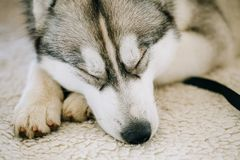 Gray Adult Siberian Husky Dog. Sleeping in his bed Stock Photography