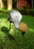Gray African-kraan Stock Afbeelding