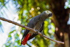 Gray African Parrot in Bali Island Indonesia Stock Image