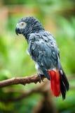 gray afrykańskich papuga Zdjęcie Royalty Free