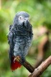 gray afrykańskich papuga Fotografia Stock