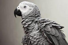 gray afrykańskich papuga Obrazy Royalty Free