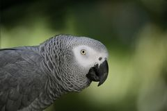 gray afrykańskich papuga zdjęcia stock