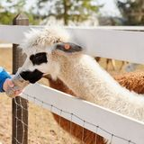 Gray alpaca eat food from the arm. Gray alpaca eat food out of hand, Lithuanian farm spring Royalty Free Stock Photo