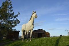 Gray American Quarter Horse che mangia erba verde fertile con cielo blu ed il granaio Fotografia Stock