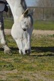 Gray American Quarter Horse che pasce Immagini Stock Libere da Diritti