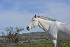 Gray American Quarter Horse mit Baum und Scheune Stockfoto