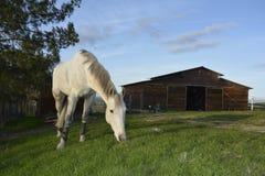 Gray American Quarter Horse som äter frodigt grönt gräs med blå himmel och ladugården Arkivbild
