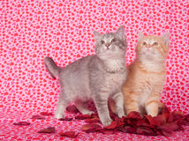 Gray And Yellow Kitten And Rose Petals Stock Photos