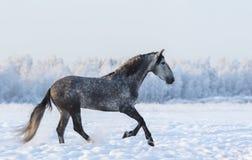 Gray Andalusian häst som cantering på äng i ny snö Arkivfoton
