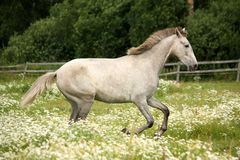 Gray andalusian horse galloping at flower field Stock Image